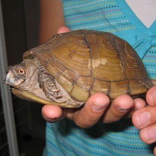 Box-turtle